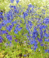 Delphinium grandiflora - kiinanritarinkannus