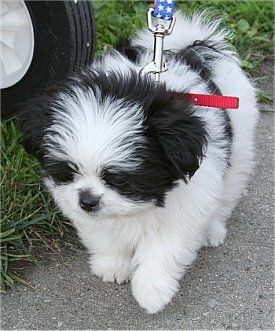 Shiranian Pictures And Photos Pom Shih Tzu Hybrid Pictures Dog