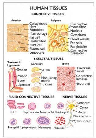 wk1: Human Tissue | HUMAN TISSUES.jpg :: Sureshnzb. Cc cycle 3