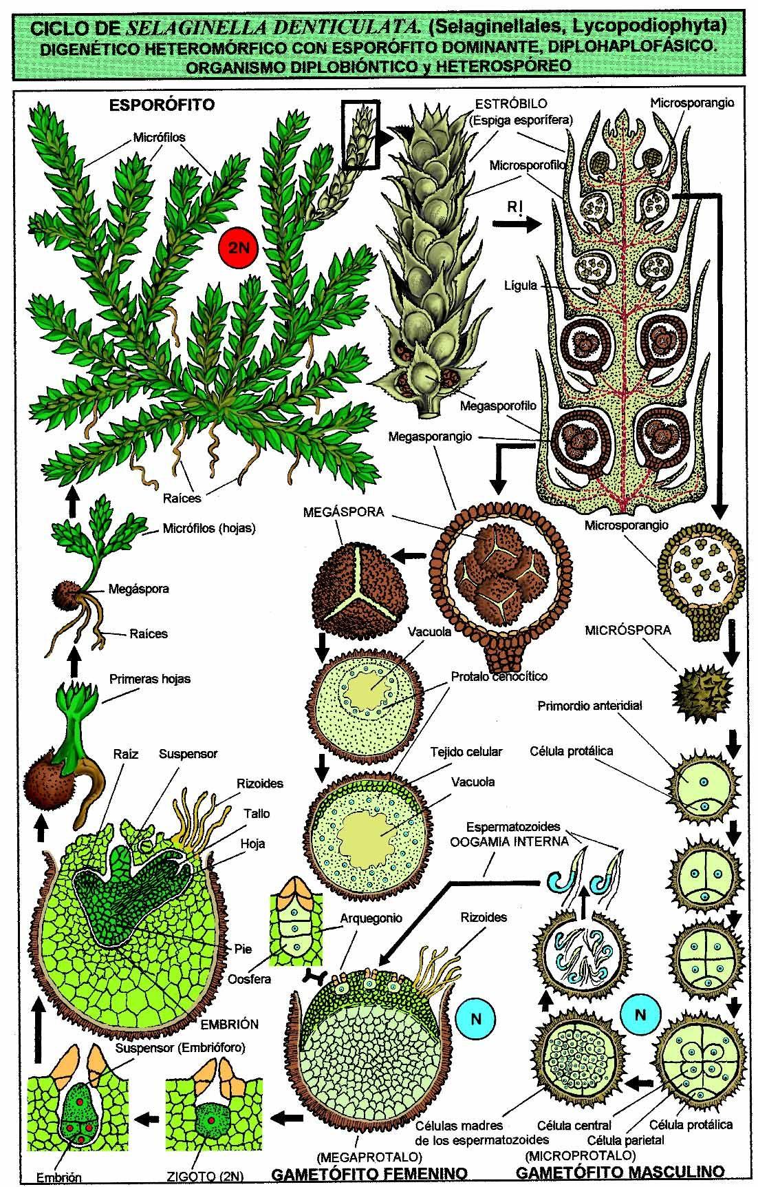 Selaginella Biology Plants Plant Science Plant Study