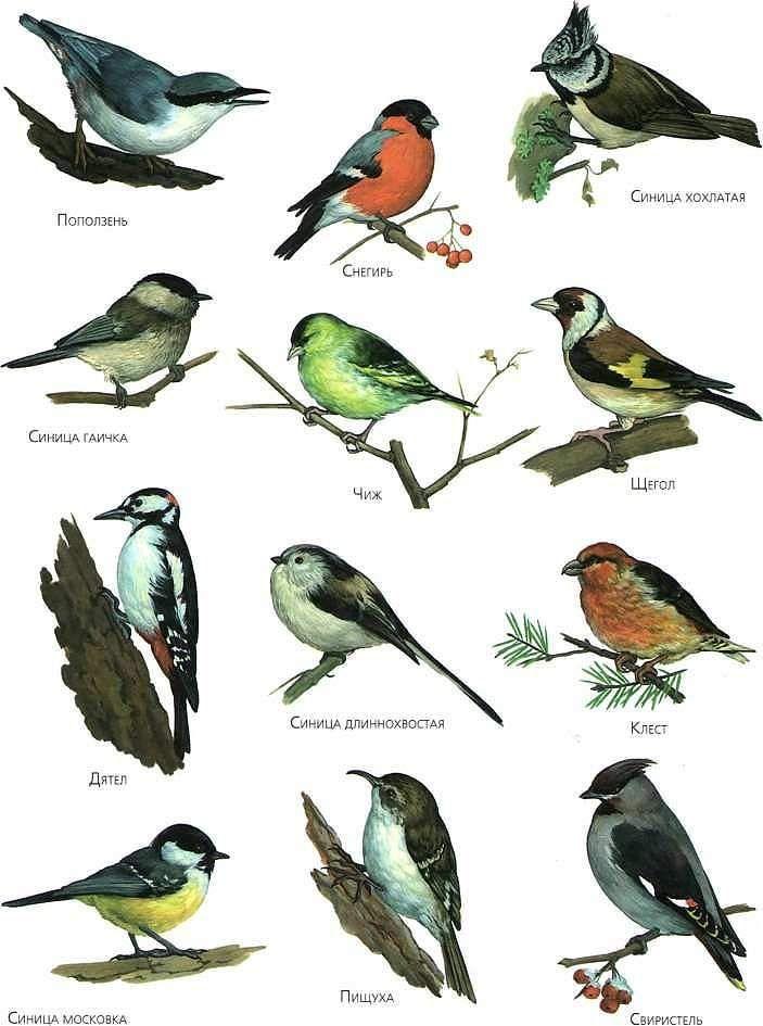 Зимующие птицы России | Птицы, Для детей, Раскраски