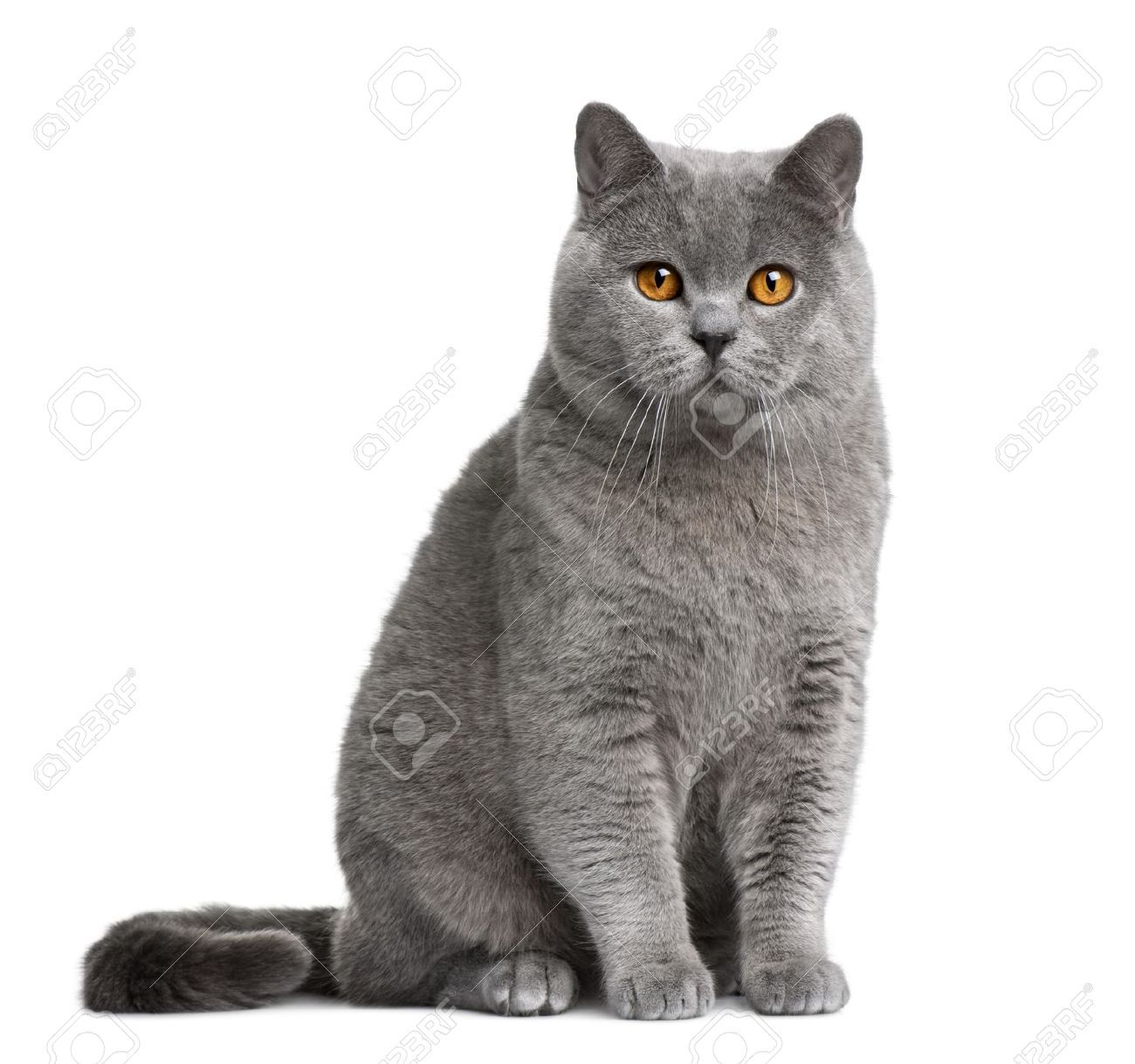 British Shorthair Stock Photos Pictures Royalty Free British Shorthair Images And Stock Photography British Shorthair Cats British Shorthair British Blue Cat