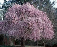 Double Weeping Cherry Trees