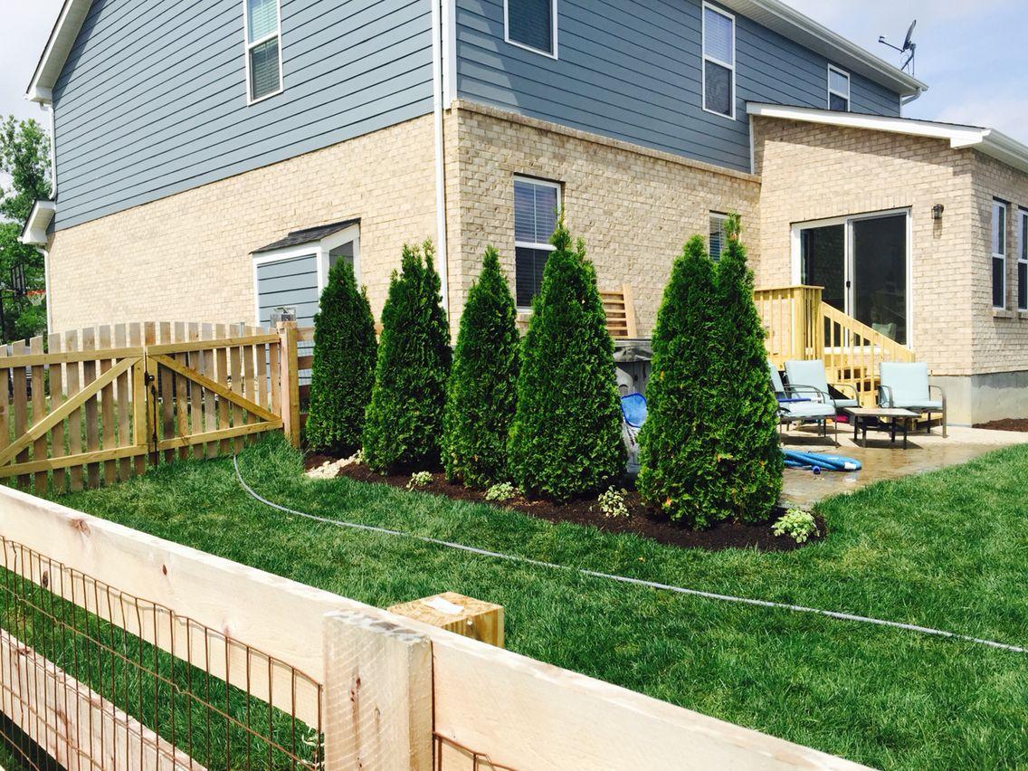 emerald green arborvitae backyard