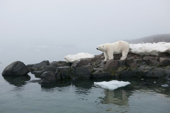 polar bears and global warming More than two-thirds of the world's polar bears will be killed off by 2050 — the species completely gone from alaska — because of thinning sea ice from global warming in the arctic .