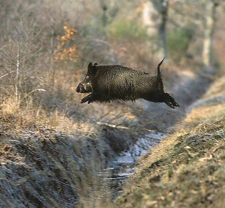 Top 30 Funniest Random Pictures Funny Pictures And Viral Videos Wild Boar Boar Hunting Animals Wild