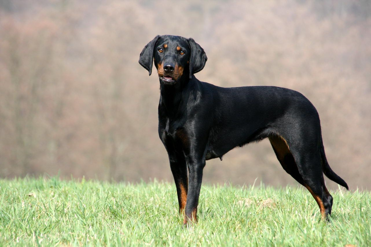 Austrian Black and Tan Hound Austrian Black and Tan