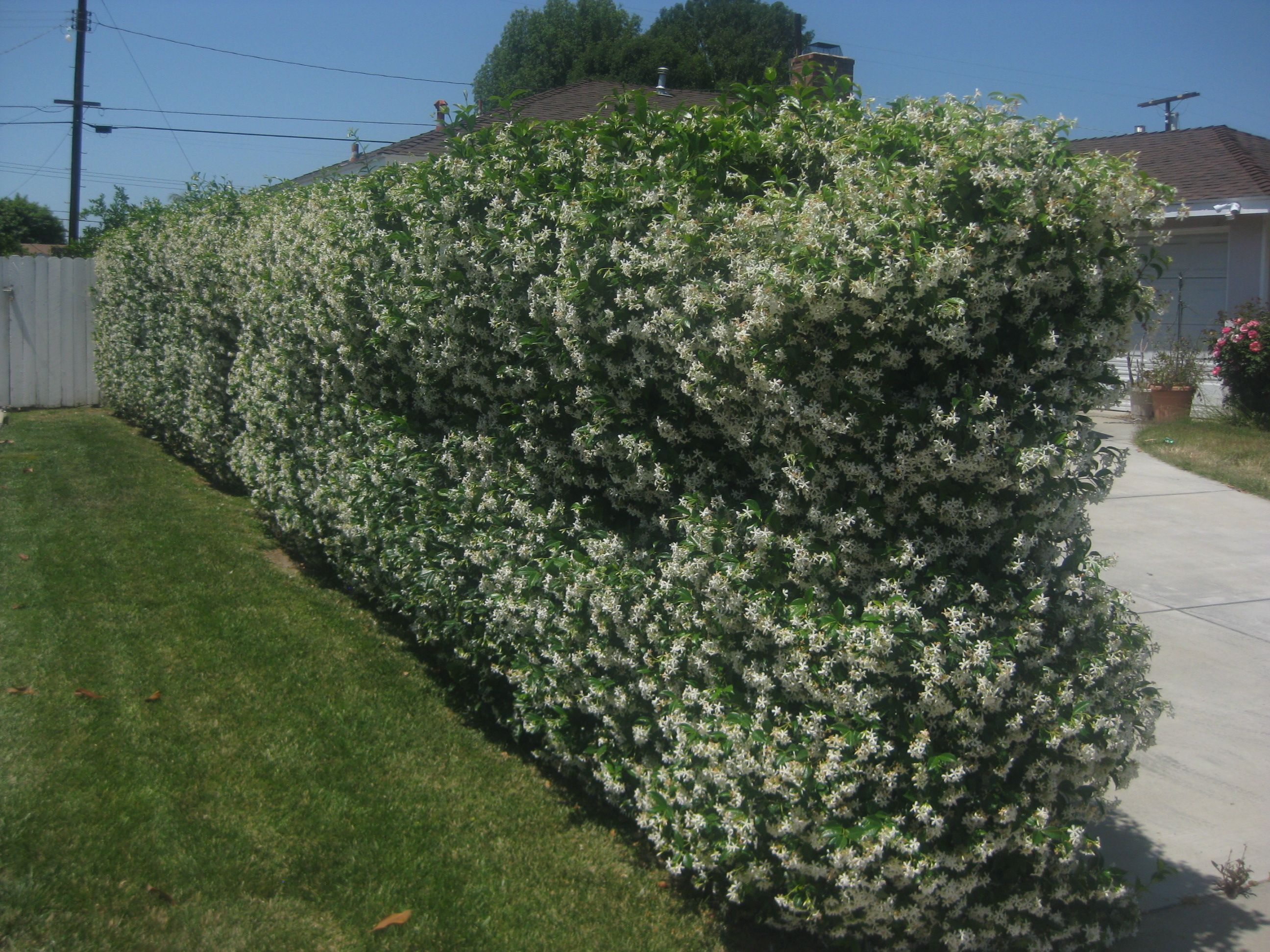 Privacy screen for chain link fences - Pink Jasmine On Chainlink Fence Google Search