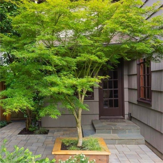 Seiryu Upright Laceleaf Japanese Maple - Live Plant - Trade Gallon Pot