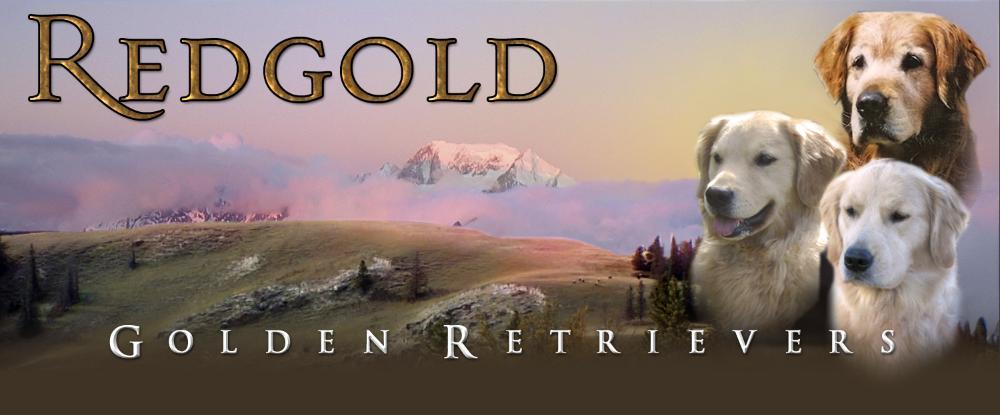 redgold golden retrievers