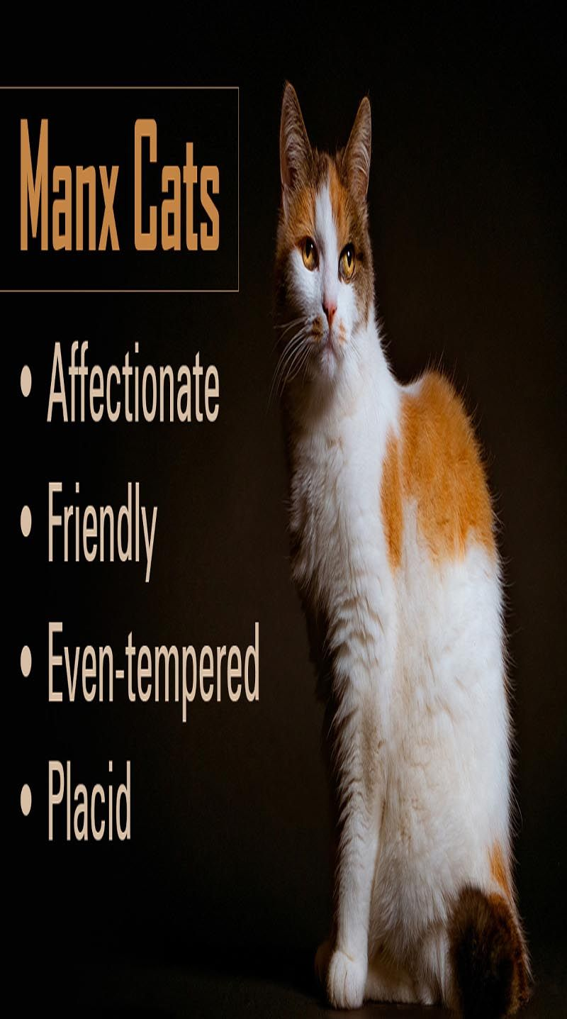 4 Basic Things To Know About The Manx Cat Manx cat, Cats