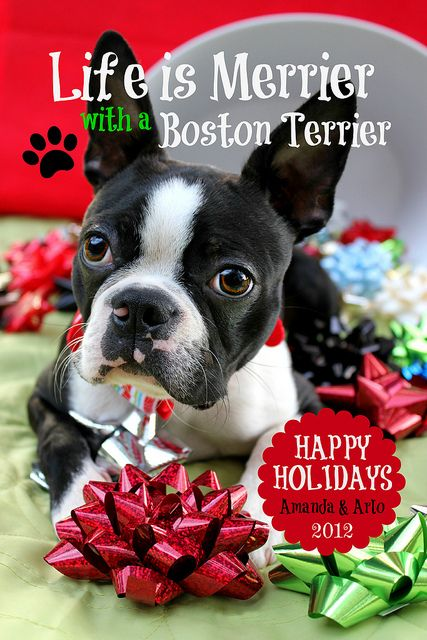 Arlo Christmas Card | Boston terrier dog, Terrier and Terrier dogs