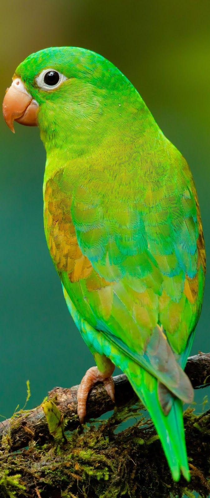 Beautiful green parrot. #Birds #PetBirds #ExoticBirds #Parrot