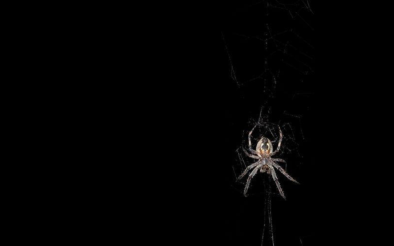Wallpaper Jumping Spider, 5k, 4k wallpaper, macro, black, eyes ...