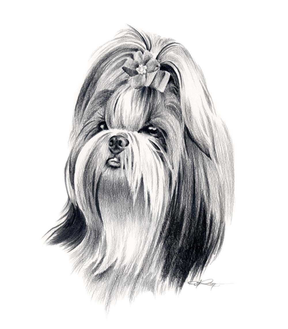 shih tzu puppies coloring pages - shih tzu dog pencil drawing art print signed by artist dj