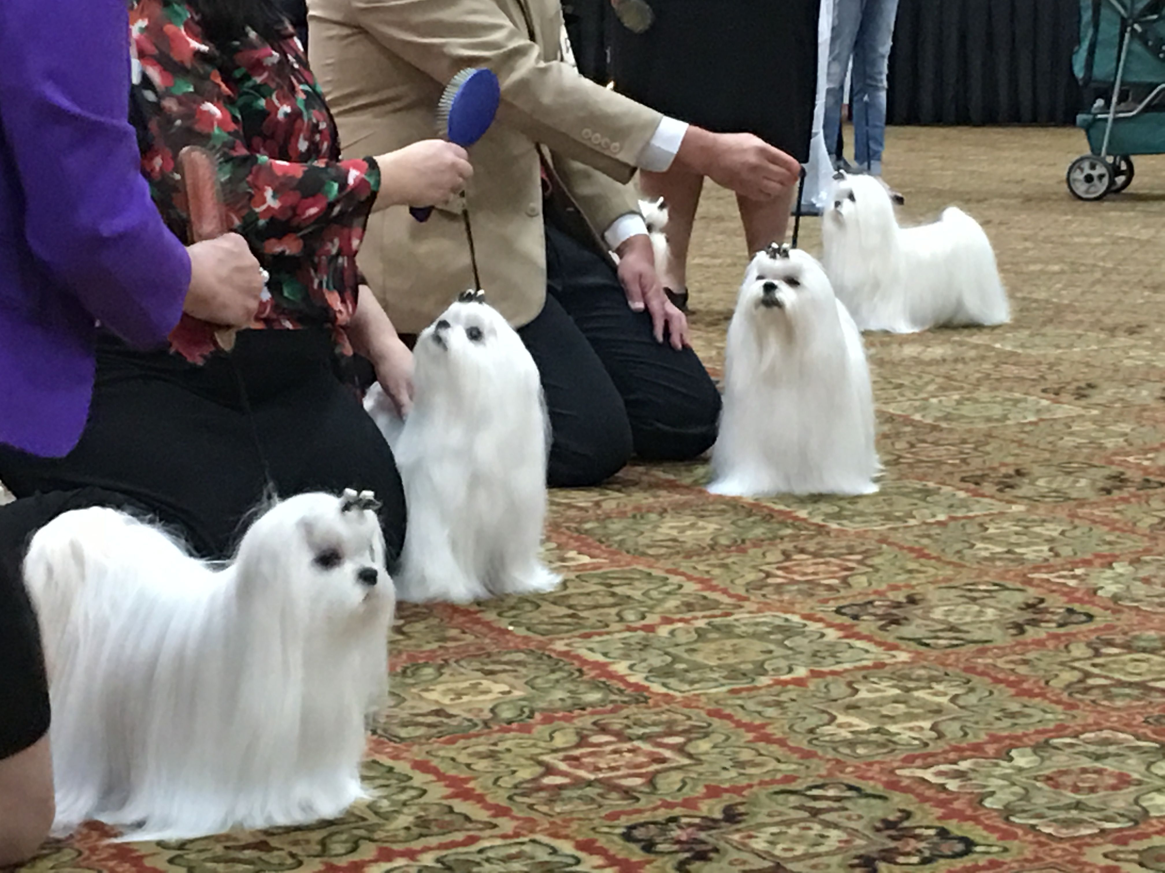 American Maltese Association 2017 National Specialty Show
