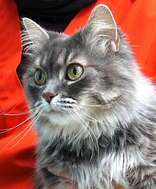 Adopt Leona Petsmart Pewaukee On Cat Adoption Cats Pets