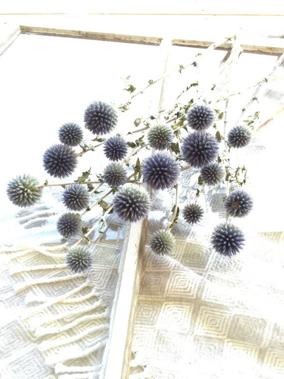 Dried Blue Globe Thistle Long Stem Echinops by greypeonyboutique