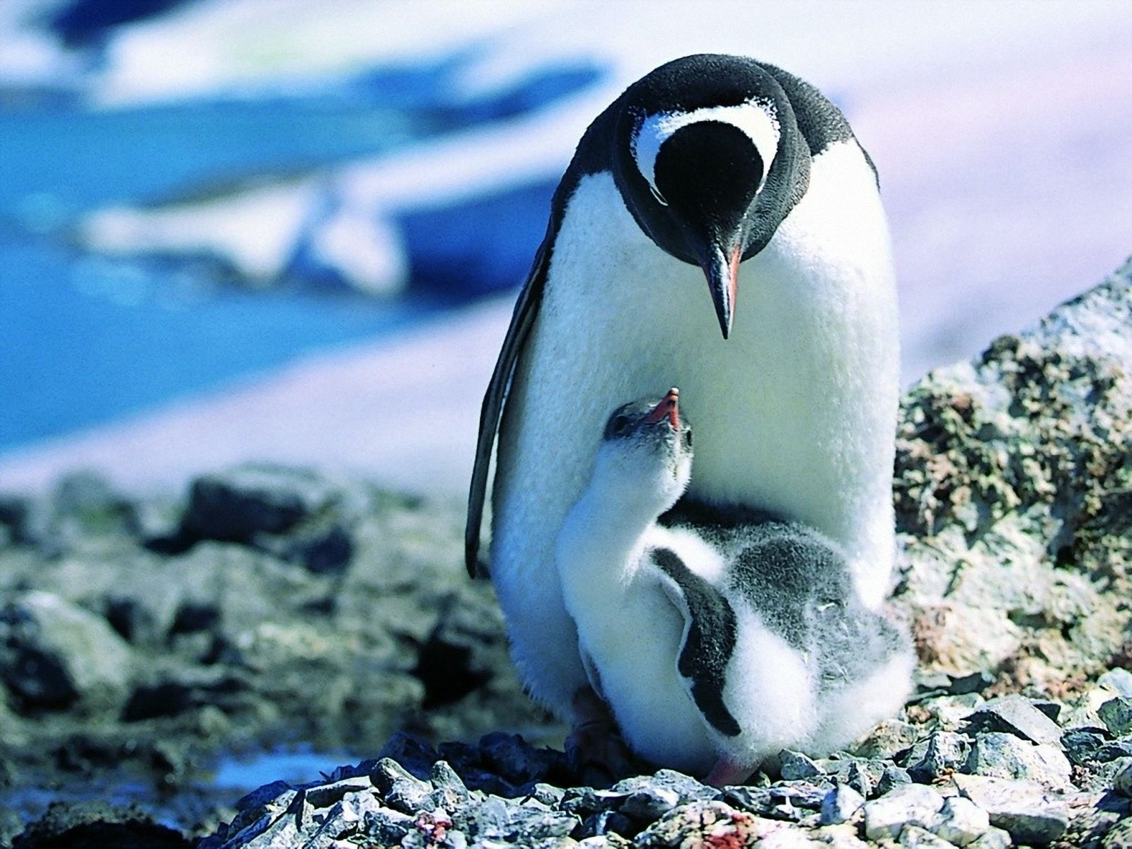 Penguin Wallpapers Free Desktop Backgrounds HD 1920x1080 Baby 58