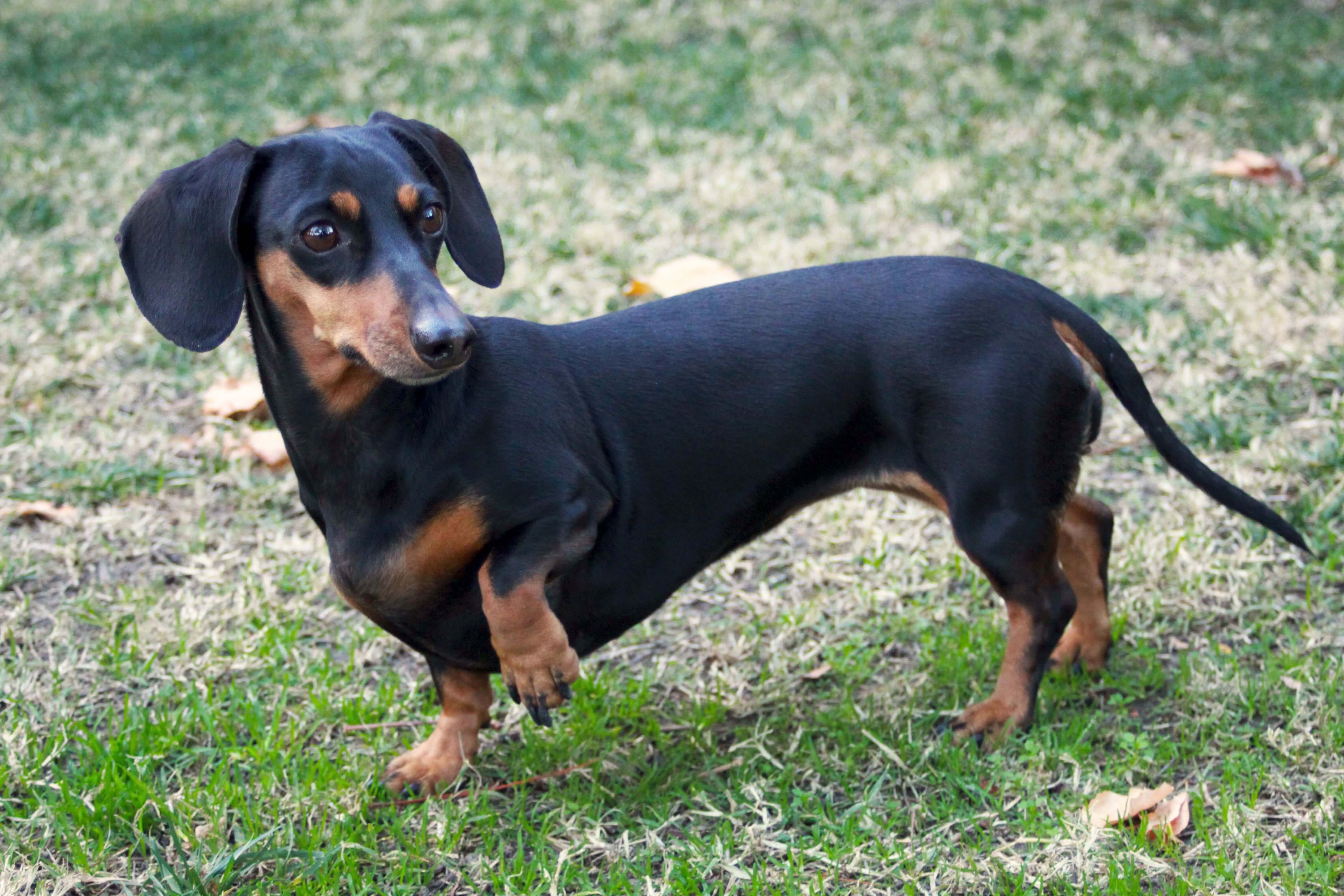 Dachshund Dog Breed » Information, Pictures, & More Dog