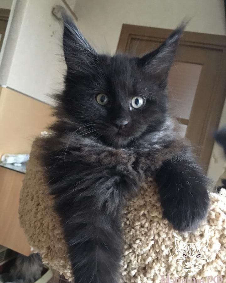 Black Smoke Long Haired Kitten Kitty Cat Cats Tap The