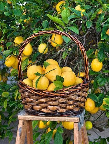 Meyer Lemon Trees Tree For Fast Growing