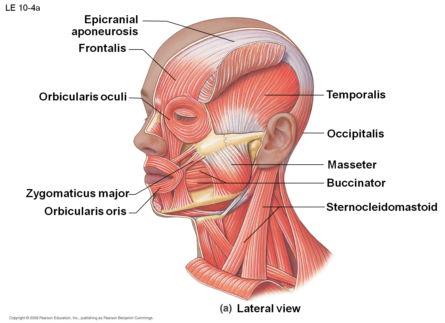 zygomatic ligament - Google Search | medical | Pinterest | Anatomy ...