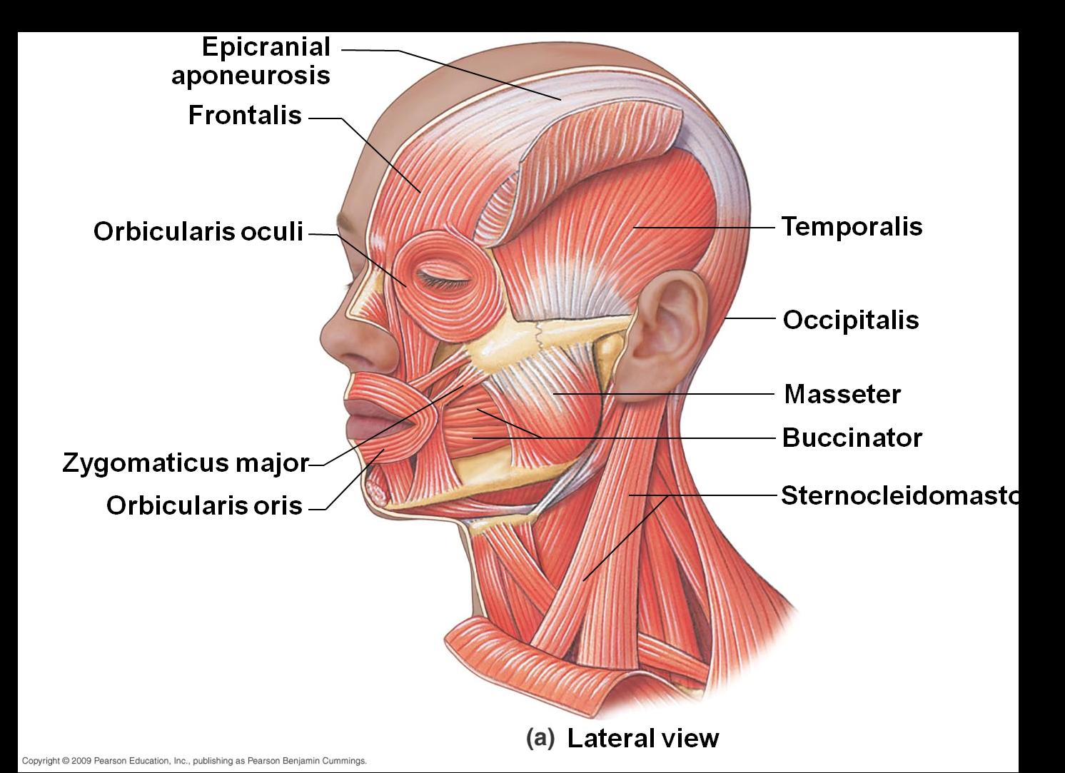 Zygomatic Ligament Google Search Medical Pinterest Anatomy