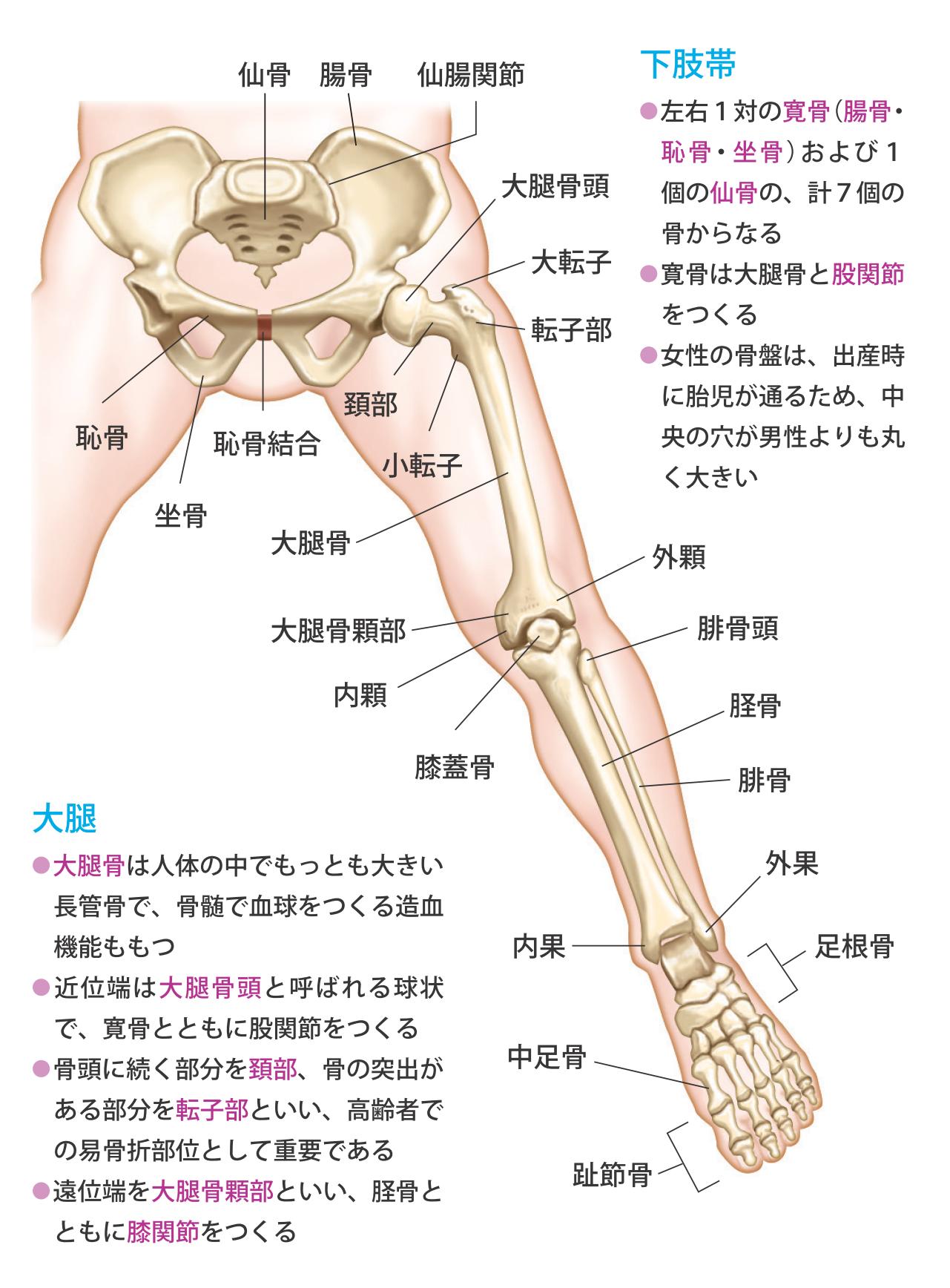 第1章 骨 神経 骨格筋の解剖と働き ナースフル疾患別シリーズの看護師基礎知識 ナースフル 骨格筋 筋肉解剖学