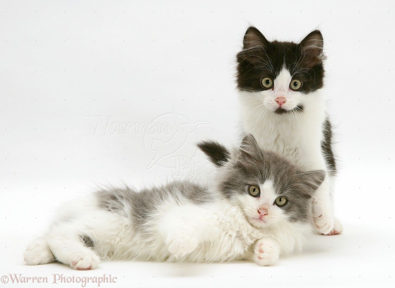Persian White Kittens