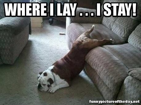 Where I Lay I Stay Funny Dog Sleeping Weird Meme Funny Animals