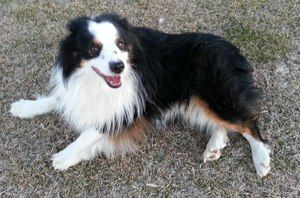 Adopt Mini Aussie Eddie On Australian Shepherd Dogs Mini Aussie