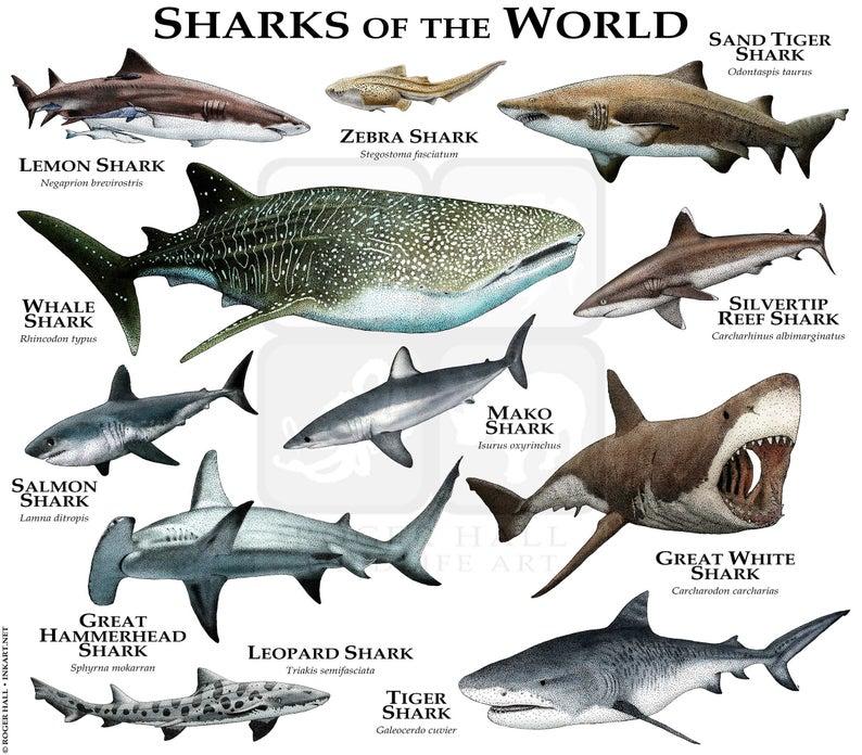 Sharks Of The World Poster Print Etsy In 2021 Shark Photos Species Of Sharks Zebra Shark