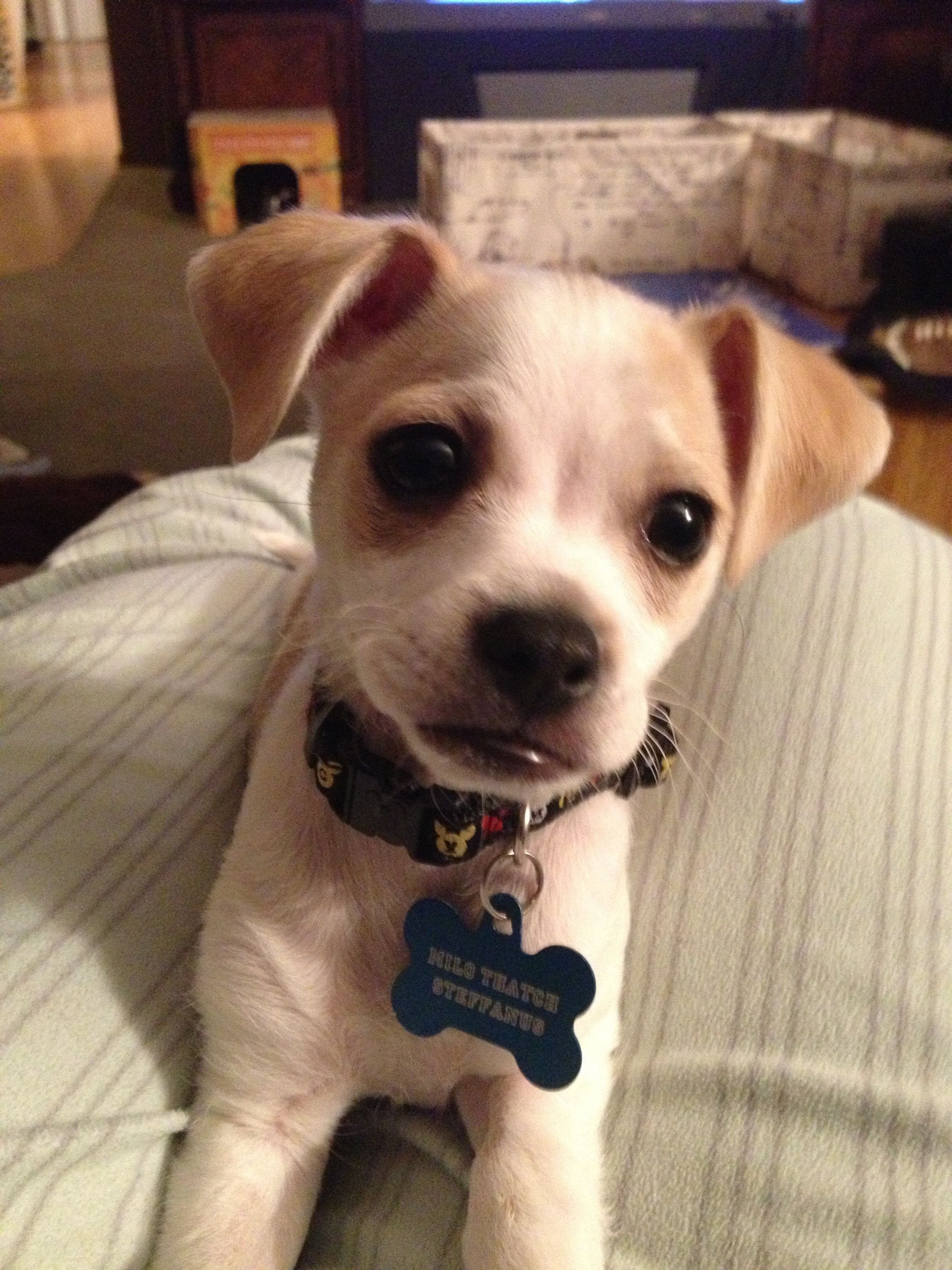 My Cutie Pie Milo Thatch At 11 Weeks Chihuahua Mix Cute Baby