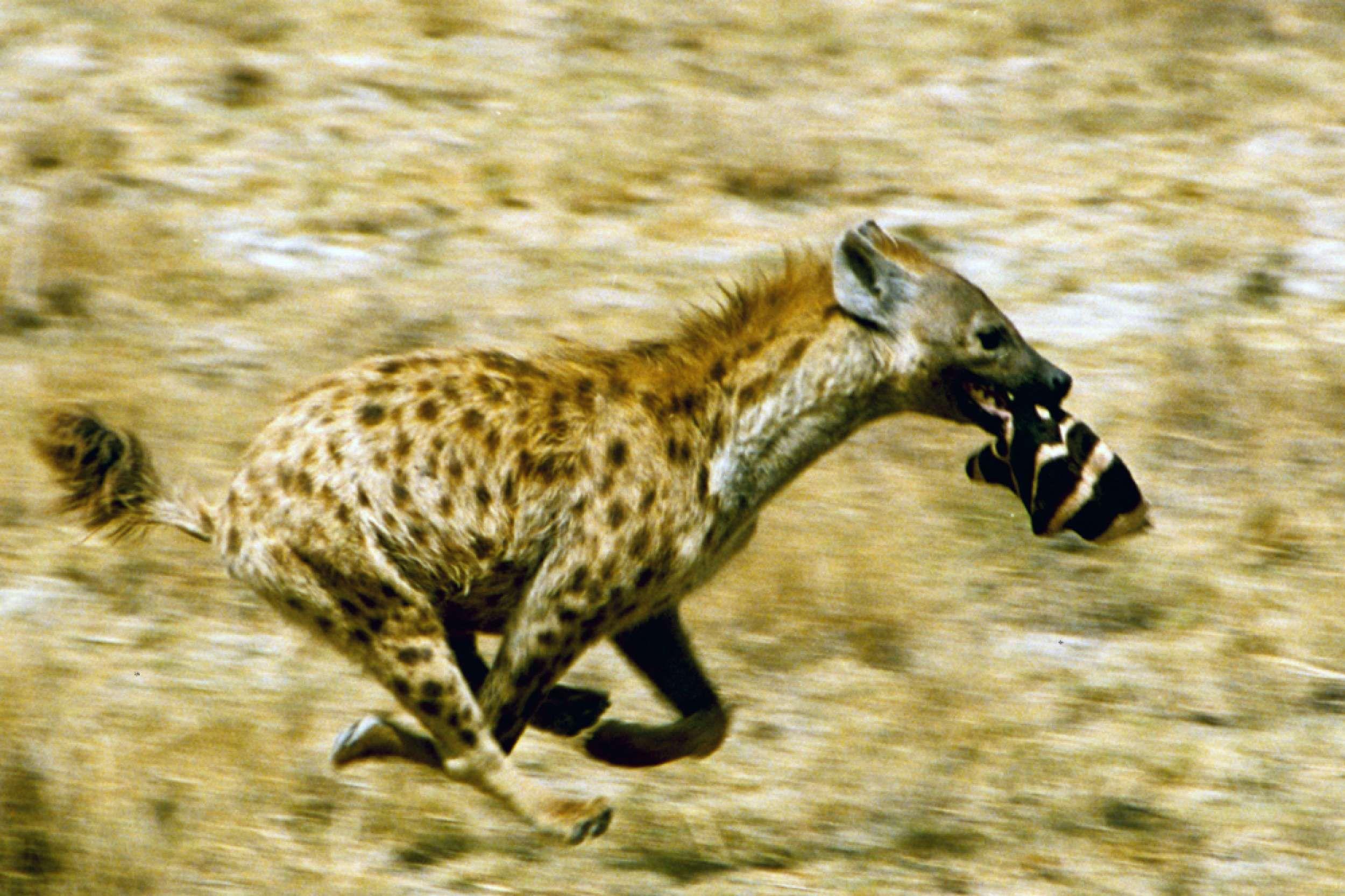 Hy Ne, Hyena  ((( #Lamistardilocast #Canin #Chien #Loup #