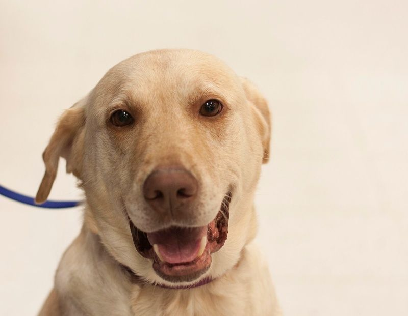 Adopt Cherokee on Labrador retriever, Retriever dog