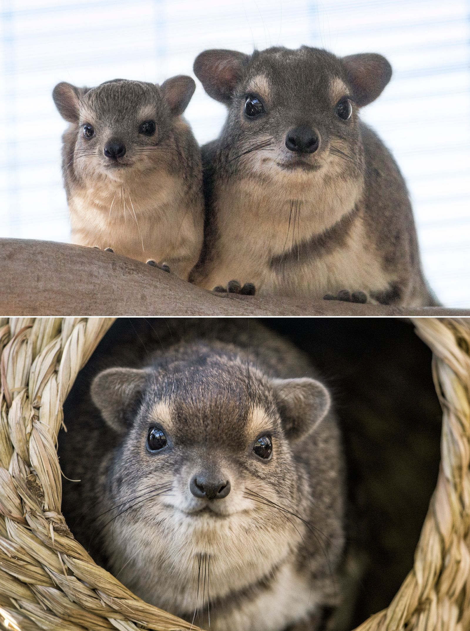 Hyraxes have an identity problem. These small, unassuming