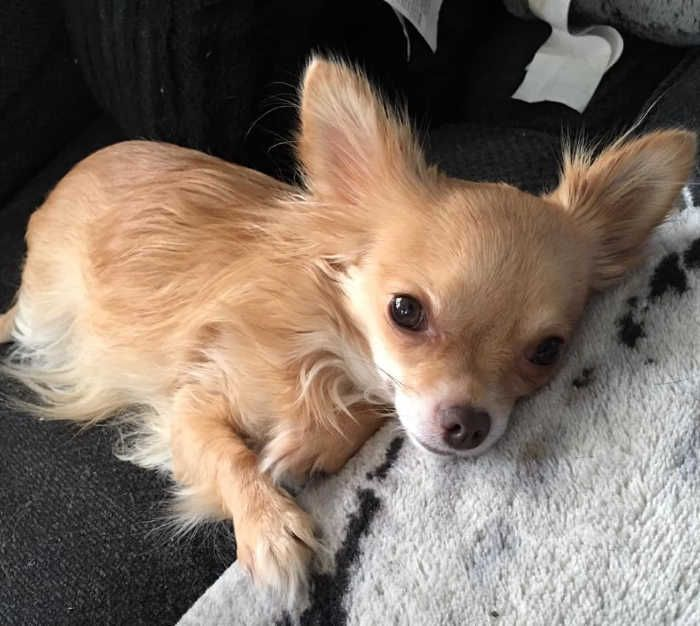 Fawn Colored Chihuahua Chihuahua Chihuahua Chihuahua Love