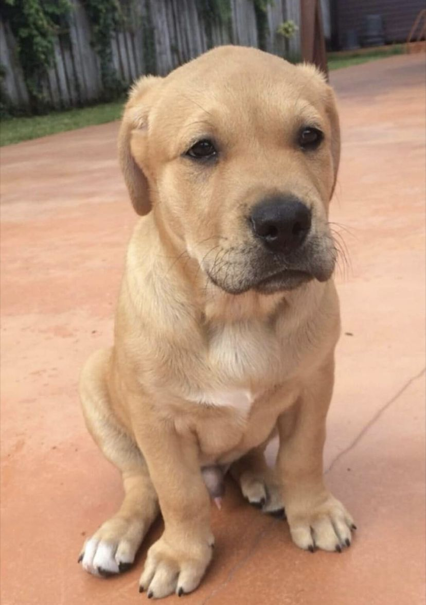 Pin By Des D Y On Puppies Dogs In 2020 Pitbull Mix Puppies Pitbull Puppies Golden Retriever Mix