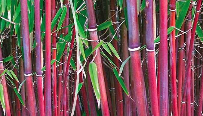 Trio Of Red Stemmed Umbrella Bamboo Fargesia Asian Wonder Uk Deal For Just 29 99 Grow Something Diffe With The