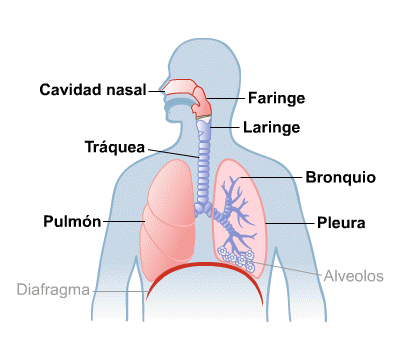 Body Map for Lungs and Breathing (Spanish) | SALUD | Pinterest ...