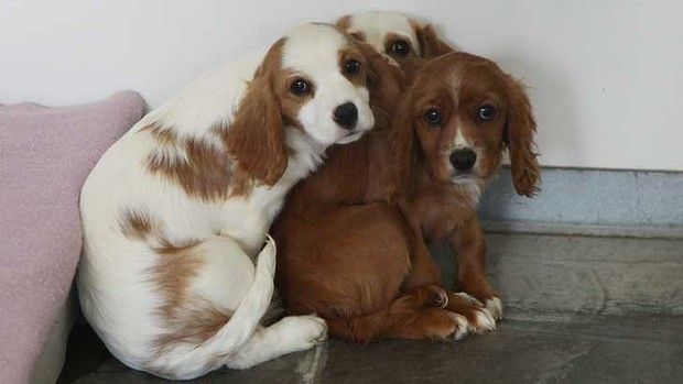 Three dogs after they were rescued from the pupy farm