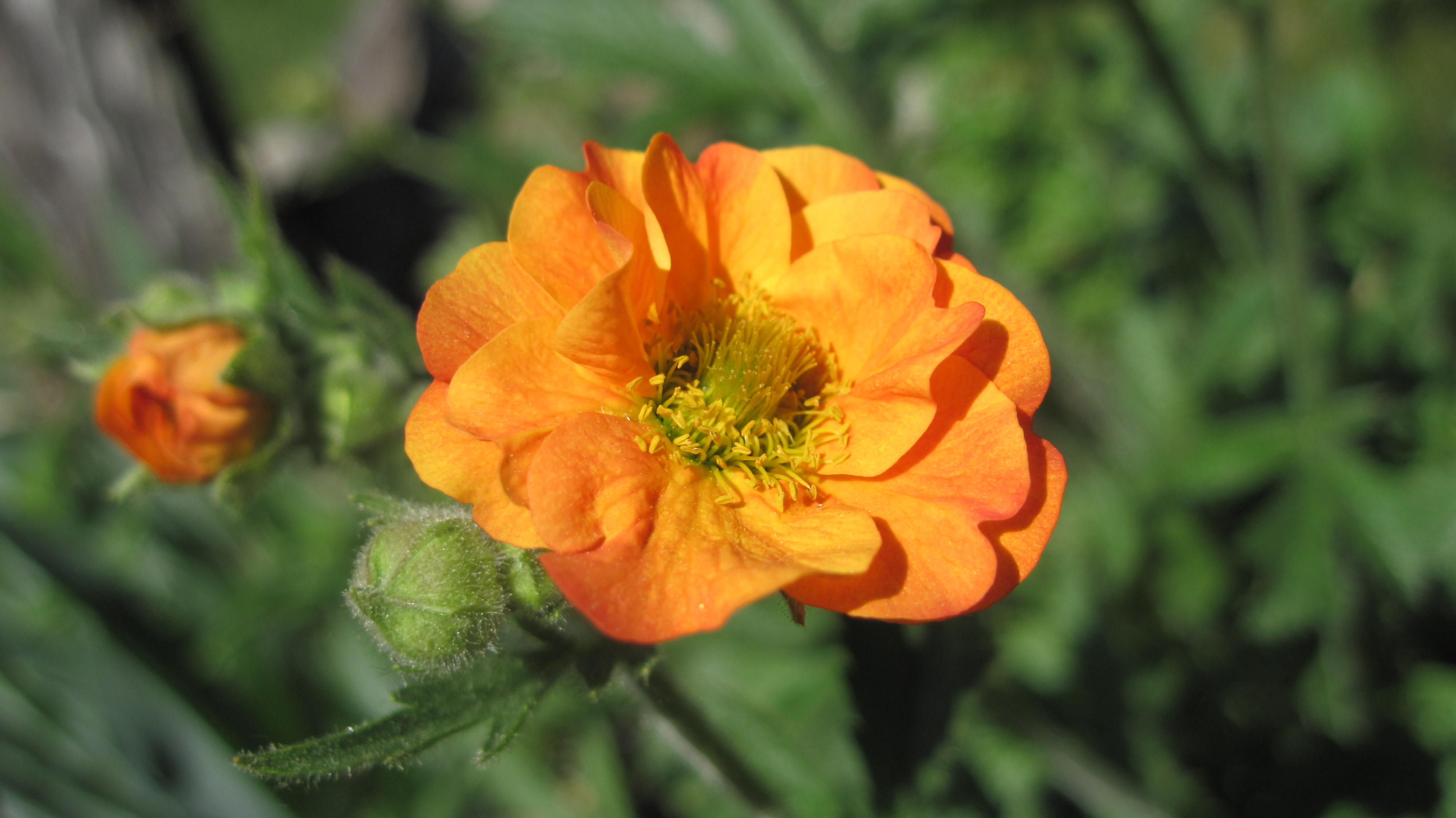 Geum Coccineum Totally Tangerine One Of The First Perennials To