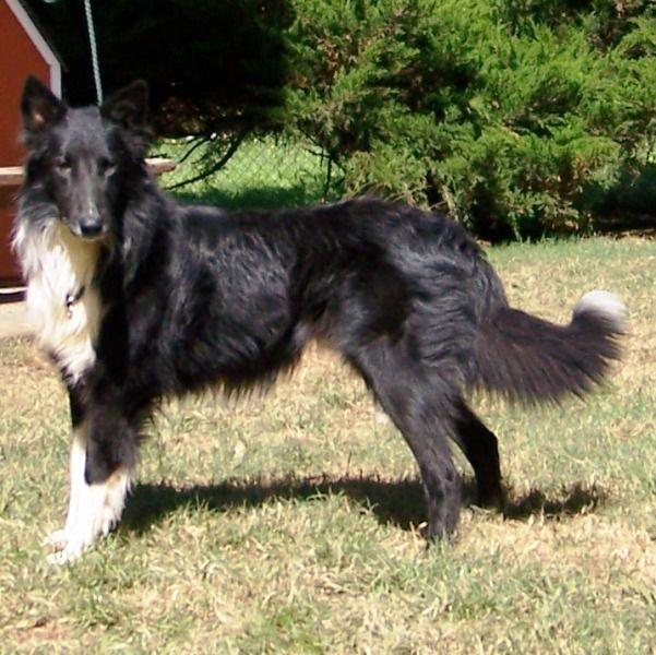 Bi Black Rough Collie Rough Collie Collie Collie Dog