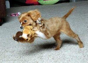 Cavapoo Puppies Germany Cute Baby Animals
