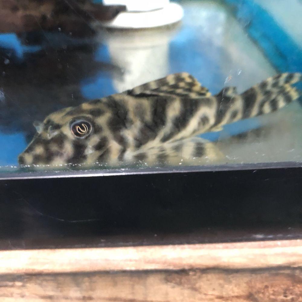 4 5 Inch Xingu Vittata Pleco L015 L 015 Plecostamus Suckerfish Fish