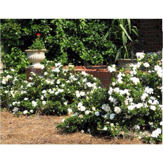 Crown Jewel Gardenia A Hardy Gardenia Gardenia Plant Garden