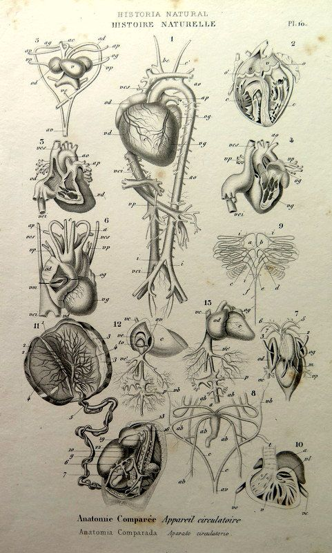 1852 Antique Oddity Comparative Anatomy Circulatory System Engraving