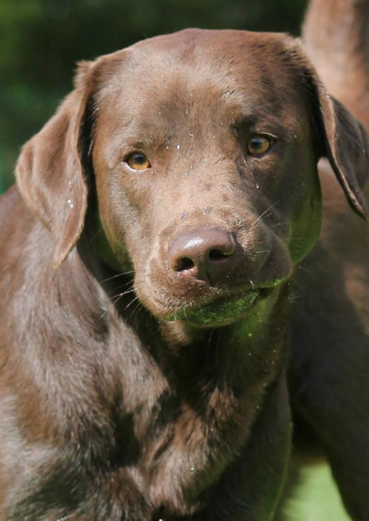 Chocolate Lab - Your Guide To The Chocolate Labrador Retriever