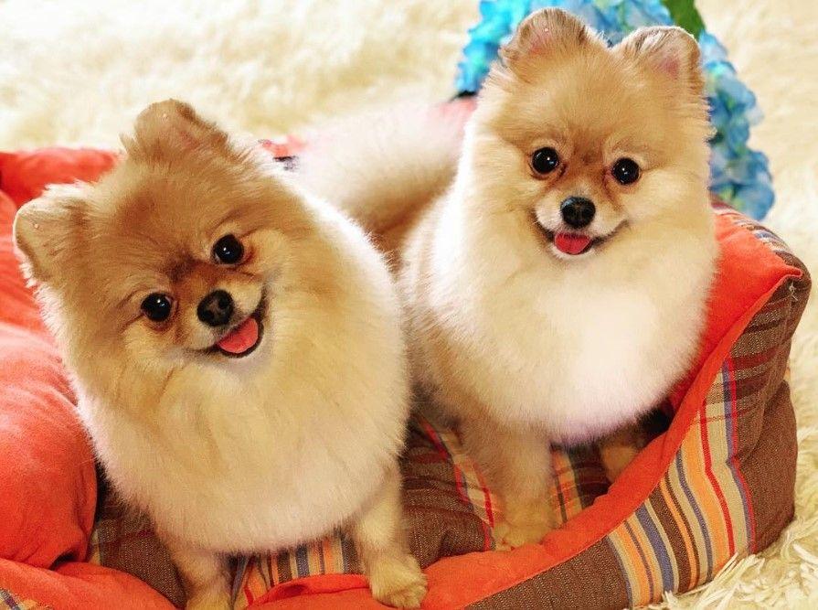 40 Female Pomeranian Dog Names (With images) | Dog names ...